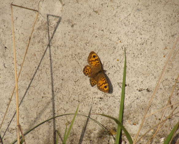 A wall butterfly at Swanscombe Marshes, October 2015