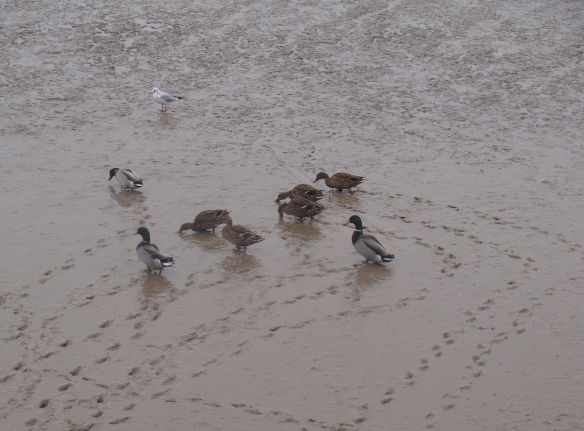 Duck trails: mallards on the foreshore, December 2015