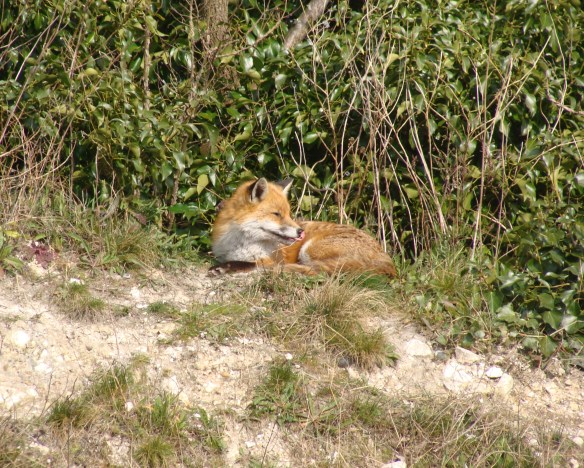 fox_4